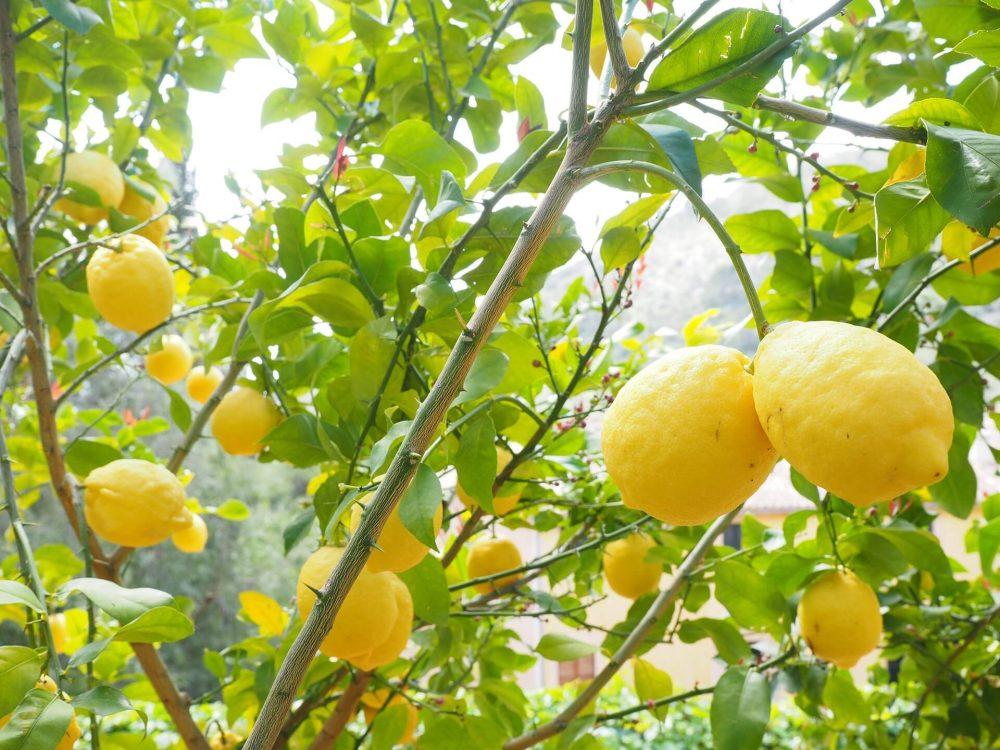 lemon-1117565_1920